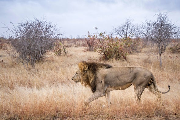 How starting bush fires could save Africa's disappearing lions